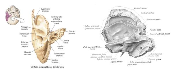 Influencia de la mandíbula en la audición y el equilibrio