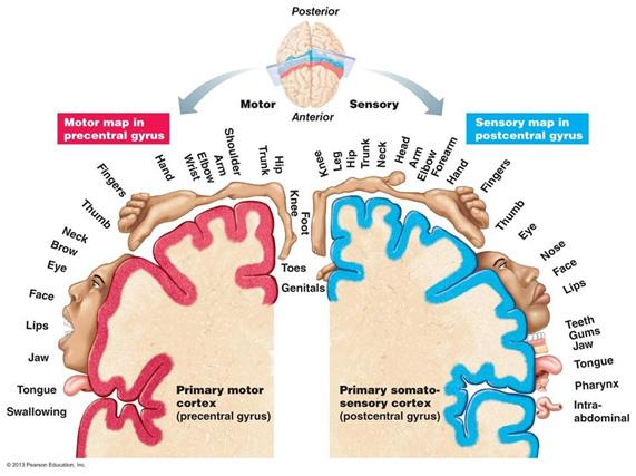 Corteza cerebral sensitiva y motora