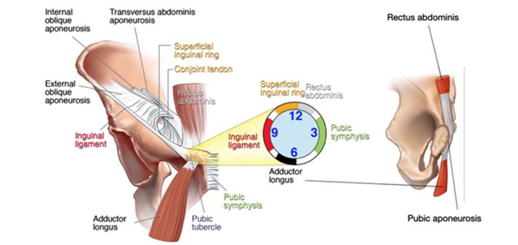 Musculatura y ligamentos de la cadera